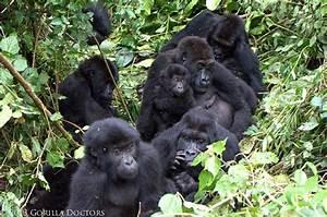 Members of Chimanuka Group in Kahuzi Biega National Park ...