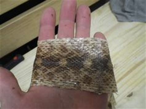 1000 images about snake skin preservation on pinterest