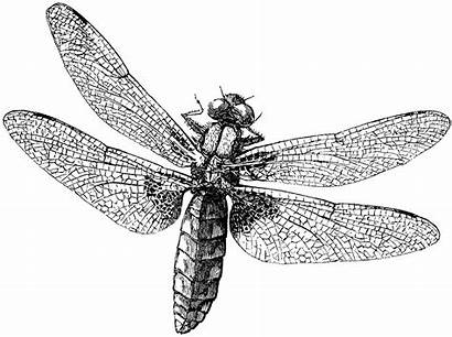 Dragonfly Royalty Graphics Fairy Copyright Illustrations Wings