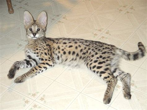 African Serval Kittens Products,cameroon African Serval
