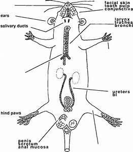 Schentatic Diagrant Of The Ntajor Sites Of Neurogenic
