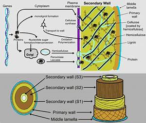 Bio Geo Nerd: Plant Cell Wall Synthesis