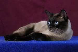 thai cat thai cats cattery kicia eu