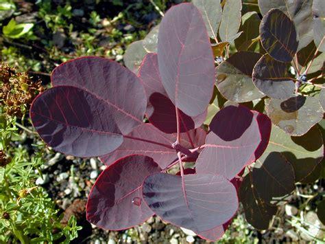 tree with purple leaves trees of santa cruz county cotinus coggygria royal purple royal purple smoke tree