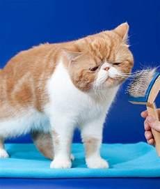 hypoallergenic cat hypoallergenic cats cuddly