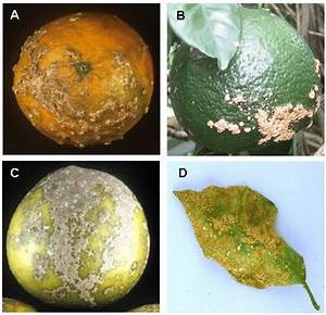 Symptoms Of Citrus Scab Caused By The Pathogenic Fungus