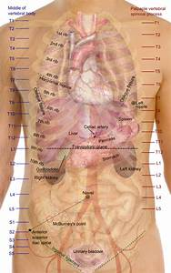 File Surface Projections Of The Organs Of The Trunk Png