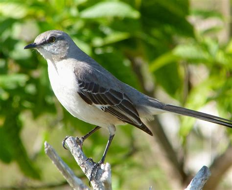 northern mockingbird rolling harbour abaco