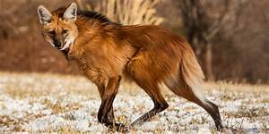 Maned Wolf wallpapers, Animal, HQ Maned Wolf pictures | 4K ...