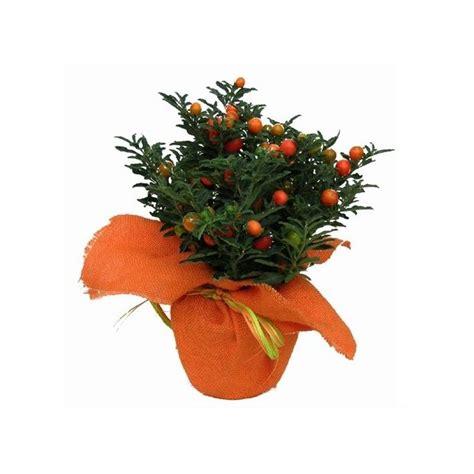 pommier d amour exterieur pommier d amour et cache pot en jute orange plantes et jardins