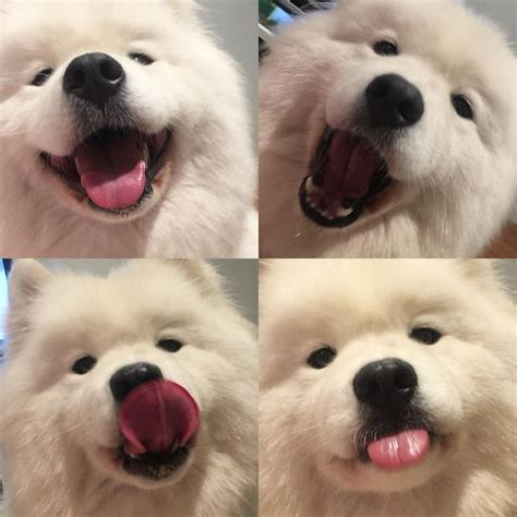 Pin By Nicole On Samoyed Puppies Samoyed Dogs Cute Dogs