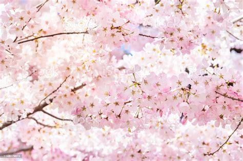 Closeup Of Vibrant Pink Cherry Blossoms On Sakura Tree