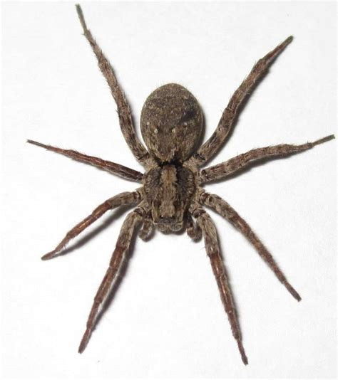 wolf spider spiders of the united states sl