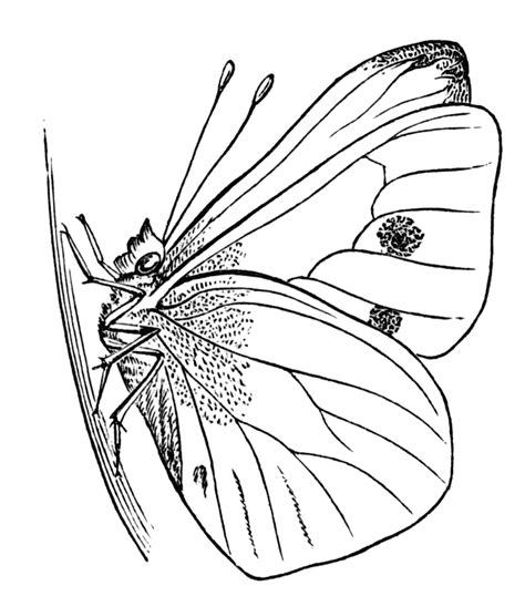 chrysalis clipart black and white free chrysalis cliparts free clip free clip