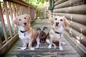 Dachshund Golden Retriever Mix - Dog Training Home | Dog Types