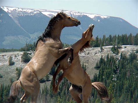 horses wild wallpapers horse mustang mustangs running fighting hd animals montana mountains stallion stallions pryor feral caballos mountain mare salvajes