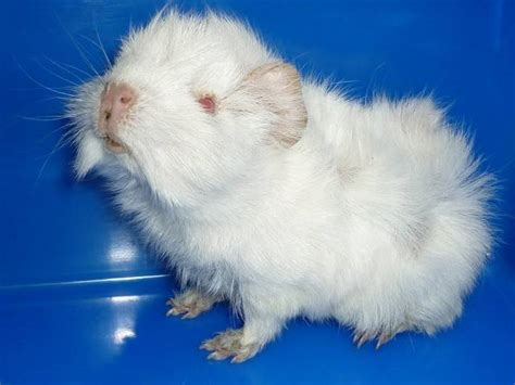 Albino Peruvian X Abbysinian Guinea Pig For Sale Adoption