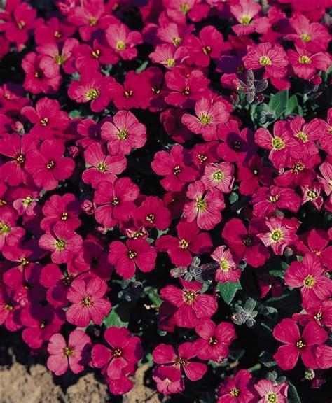 aubretia gracillis rock cress royal red aubrietia