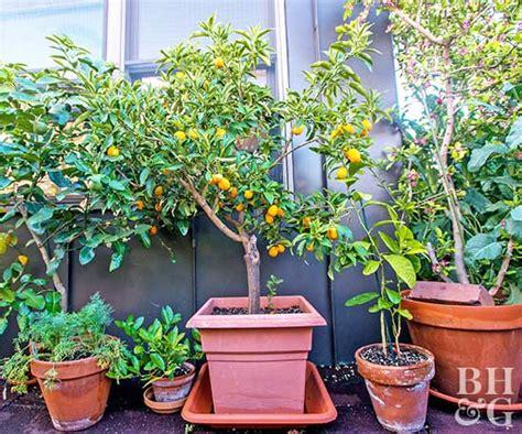 pot  fruit tree  homes gardens