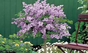 Zwergflieder Auf Stamm : die besten 25 dwarf lilac tree ideen auf pinterest ~ Lizthompson.info Haus und Dekorationen