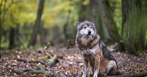 Wolf Wallpaper Real by Forest Wolf Iphone Wallpapers Top Free Forest Wolf