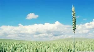 Download Green Wheat Crop Wallpaper 1920x1080   Wallpoper ...