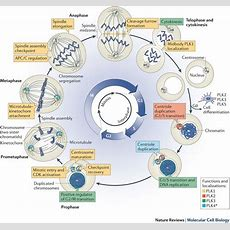 The Cell Cycle  Interphase & Mitosis  Alevel Biology Revision Notes