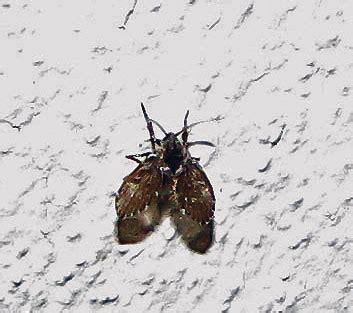 moth fly family psychodidae field station