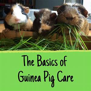 Everything You Need To Care For A Guinea Pig  A New Owner