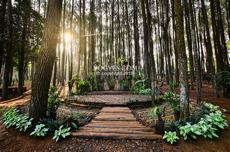 foto  hutan pinus mangunan