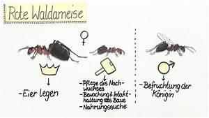 Was Essen Ameisen : die ameise lebensweise und kologische bedeutung ~ Lizthompson.info Haus und Dekorationen