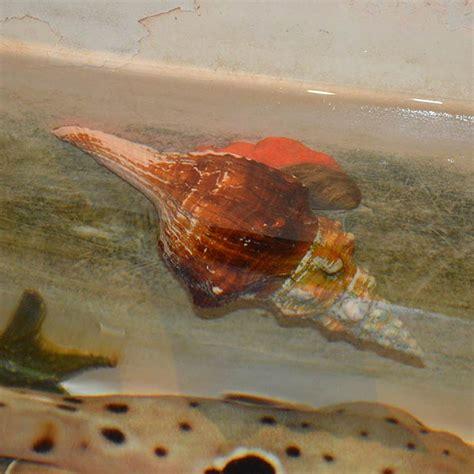 horse conch atlantic city aquarium