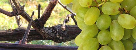 Tailler Une Treille De Raisin by La Vigne Esp 232 Ce Et Culture Taille De La Vigne Raisin De