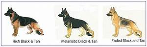 Cute Dogs|Pets: German Shepherd Dog Information and Pictures