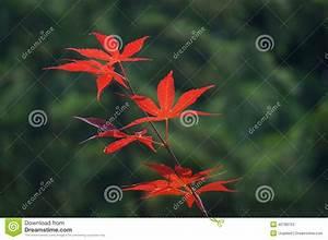Ahorn Rote Blätter : rote bl tter von japanischer ahorn acer palmatum stockfoto bild 40789753 ~ Eleganceandgraceweddings.com Haus und Dekorationen