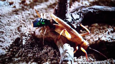 beetle  cricketfight youtube