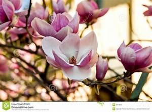 Fleur De Magnolia : fleur de magnolia image stock image du instruction ~ Melissatoandfro.com Idées de Décoration