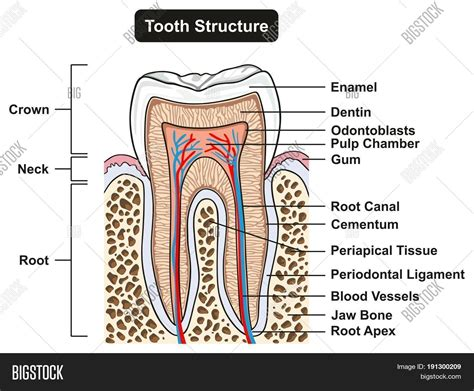 Tooth Bone Diagram by Tooth Cross Section Image Photo Free Trial Bigstock