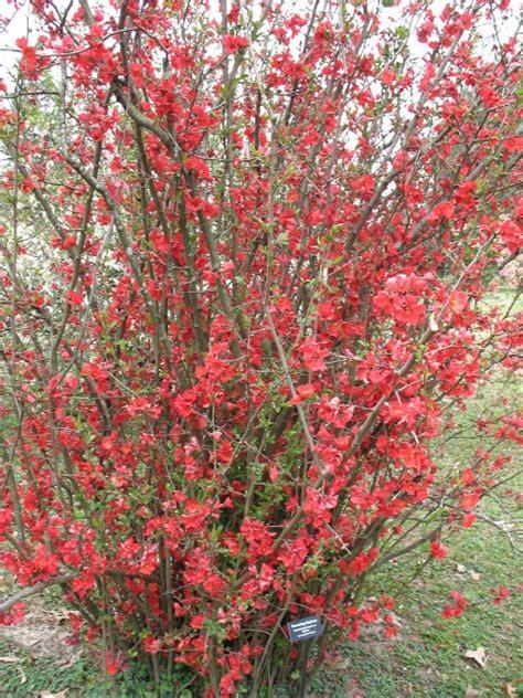 flowering quince chaenomeles speciosa quot spitfire flowering quince coloradohardyplants com