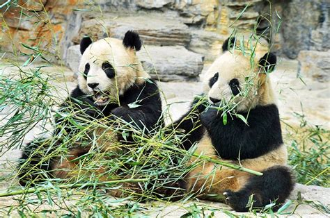beijing zoo china visit panda places attractions bears planetware tourist peking rated forbidden