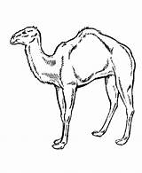 Camel Coloring Pages Desert Animals Wild Printable Animal Arabian Drawing Outline Clipart Caravan Sheet Getcoloringpages Clip Getdrawings Library Coloringpages101 Honkingdonkey sketch template