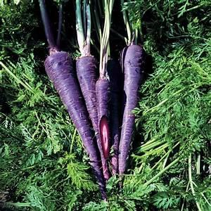 Purple Haze Hybrid Carrot Seeds