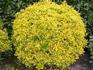 Arbuste Persistant En Pot : fusain du japon panach jaune et vert ppinire lcf ~ Premium-room.com Idées de Décoration