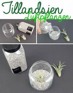 Tillandsien Im Glas : einfache deko idee mit tillandsien diy tantedine ~ Eleganceandgraceweddings.com Haus und Dekorationen