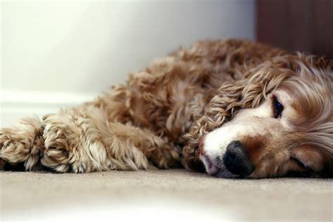 canapé lit pour chien cocker anglais tout savoir sur cette race de chien
