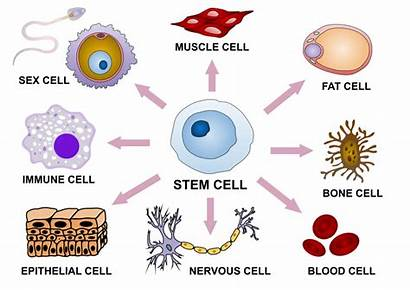 Cell Stem Differentiation Svg Wikipedia