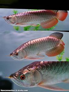 131 best images about Arowana on Pinterest | Cichlids ...