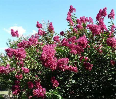summer flowering trees summer flowering trees louisiana blooms