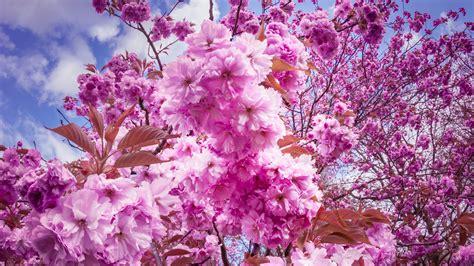 Primavera 4k Wallpapers by ダウンロード壁紙 3840x2160 さくら 桜の花 枝 春 Uhd 4k Hdのデスクトップの背景