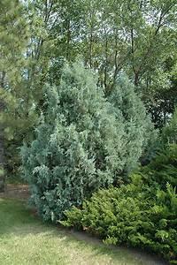 Wichita Blue Juniper  Juniperus Scopulorum  U0026 39 Wichita Blue U0026 39   In Issaquah Seattle Bellevue Redmond
